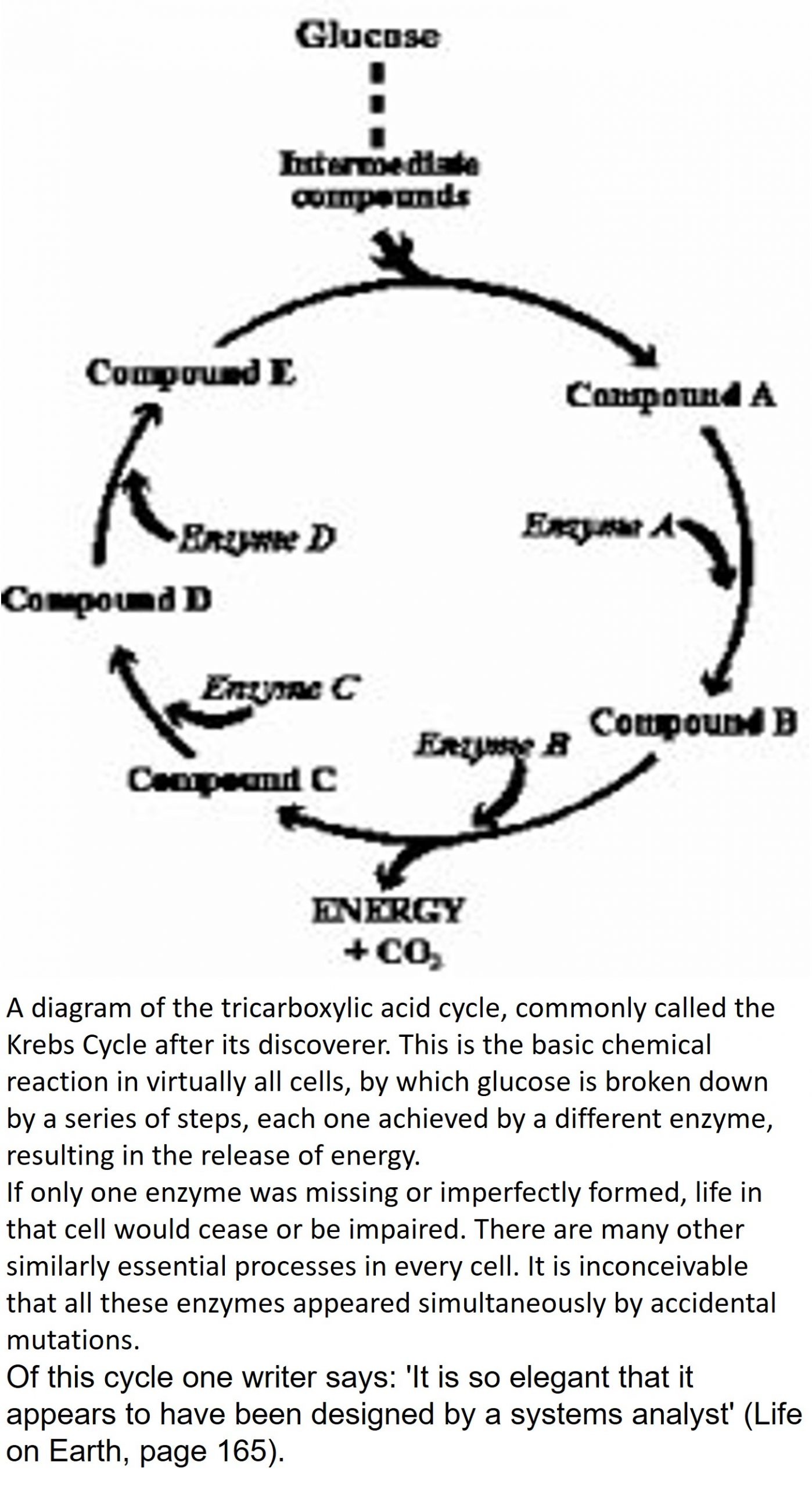 A diagram of the tricarboxylic acid cycle, commonly called the Krebs Cycle